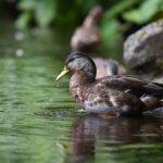 鳥インフルエンザがヒトにかかるとどんな症状がでるか?