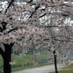 石手川 桜並木